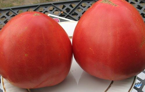 Крупноплодные сорта помидоров