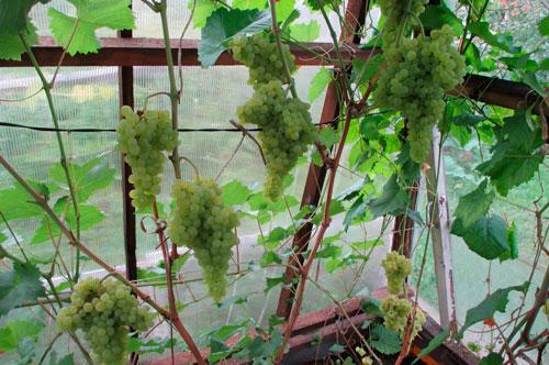 Специфика посадки винограда