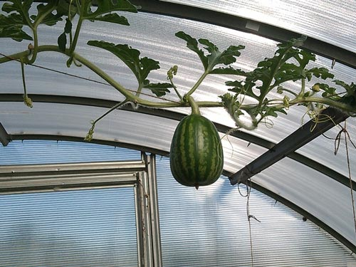 Как вырастить арбузы в теплице и получить хороший урожай