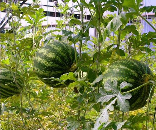Как вырастить арбузы в теплице