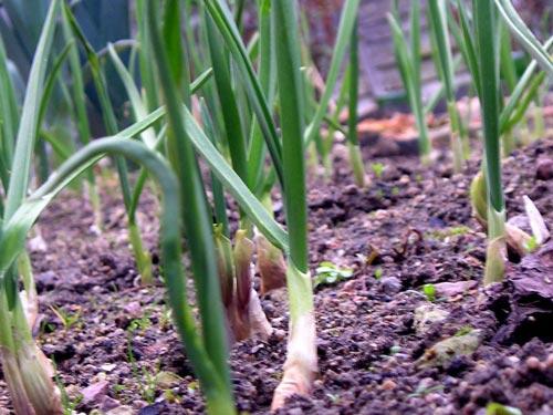 Как вырастить лук-шалот