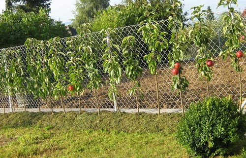 Как высаживать колоновидные яблоки
