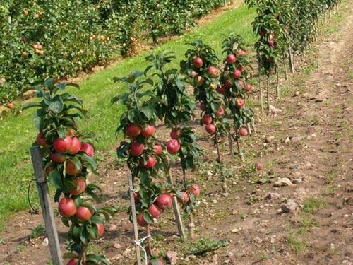 Как высаживать колоновидные яблоки правильно
