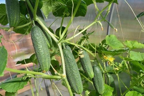 Какие сорта огурцов лучше выращивать в теплице