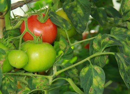 Кладоспориоз у томатов