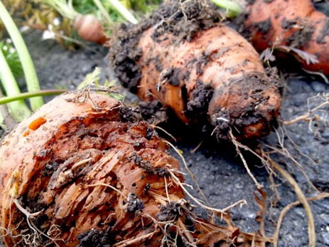 Методы борьбы с болезнями моркови