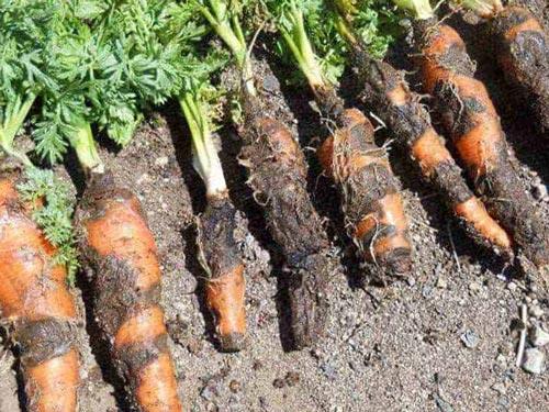 Методы борьбы с болезнями моркови на участке
