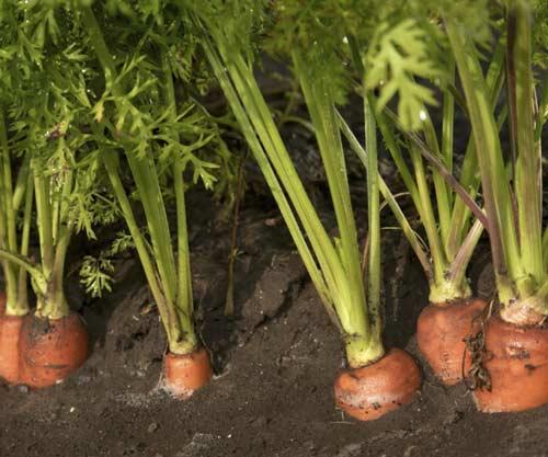 Можно ли часто поливать морковь