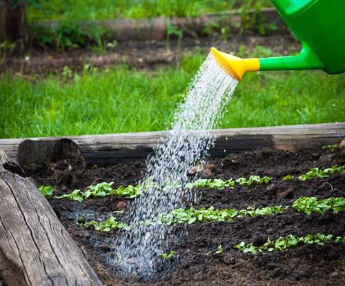 Можно ли часто поливать морковь на открытом грунте