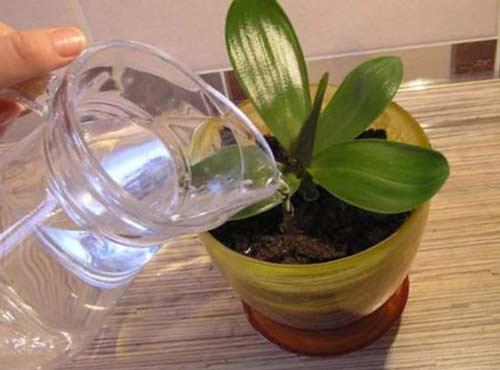 Можно ли часто поливать орхидеи