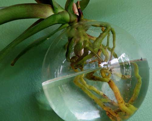 Можно ли часто поливать орхидеи в доме