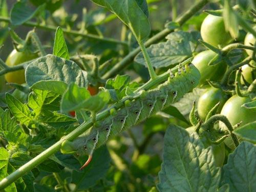 Наиболее распространённые болезни помидоров