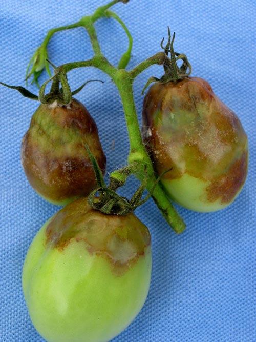 Существующие народные средства для обработки томатов