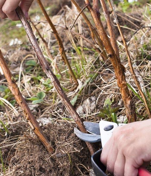 Обработка ежевики весной от болезней