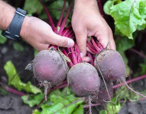 Описание основных сортов свеклы для выращивания на участке