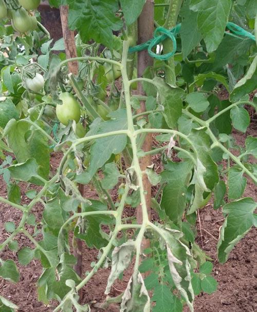 Опрыскивание помидоров в тепличной конструкции