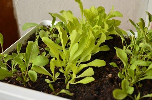 Опытное выращивание рукколы на участке