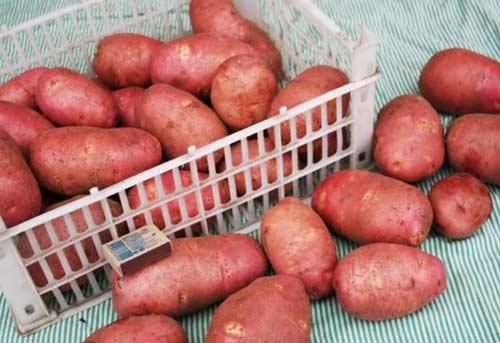Особенности картофеля Ред Скарлет - важные и основные