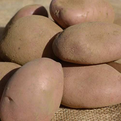 Картофель сорта Аврора