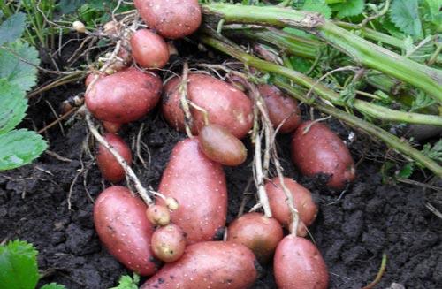 Особенности выращивания картофеля сорта Лаура
