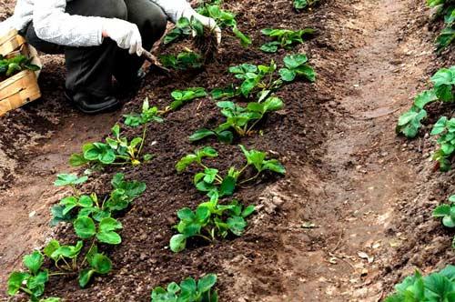 Особенности осенней посадки клубники на своем участке