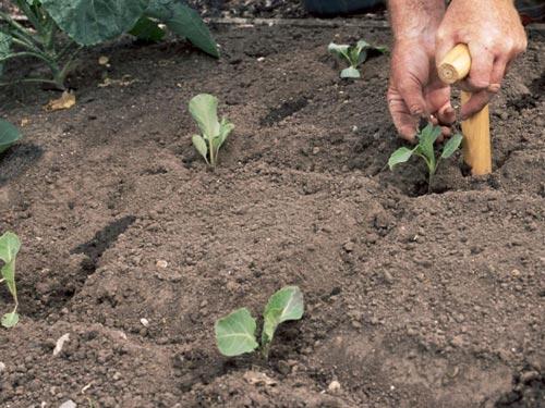 Посадка капусты на открытом грунте
