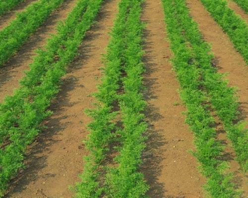 Особенности посадки моркови на открытый грунт