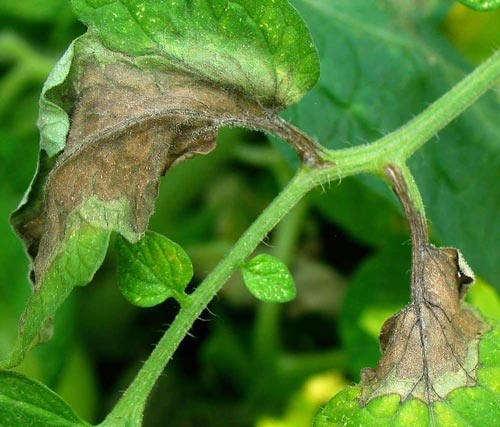 От чего появляется плесень на томатах в теплице