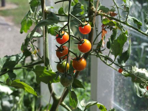 Почему опадают помидоры в теплице