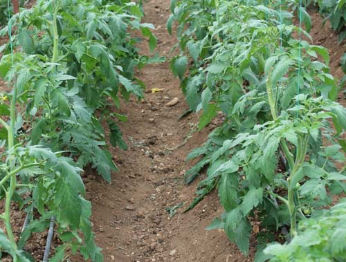 Подготовка почвы под томаты