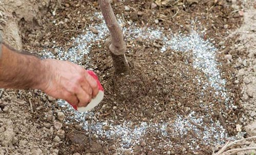 Подкормка яблони весной - правильная технология