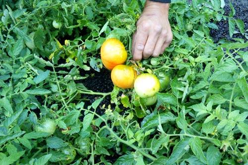 Полезная внекорневая подкормка томатов