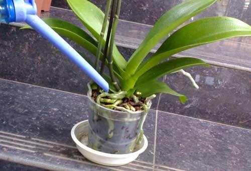 Поливаем орхидеи во время цветения
