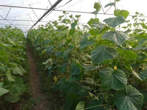 Технология выращивания огурцов в теплице - какая применяется