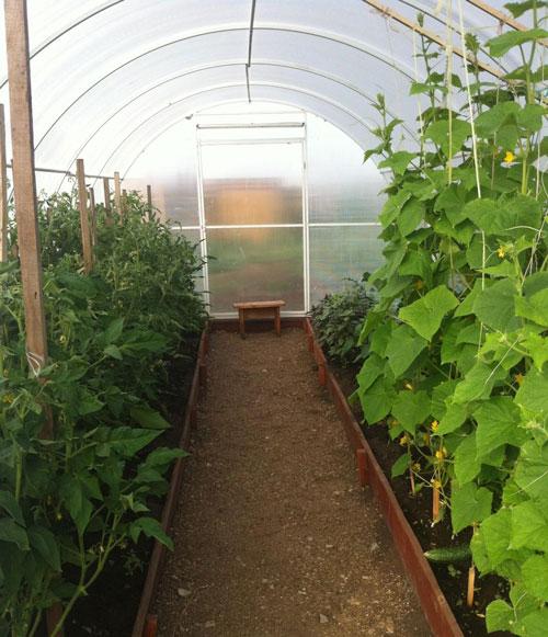 Совместная посадка - помидоры и огурцы в одной теплице