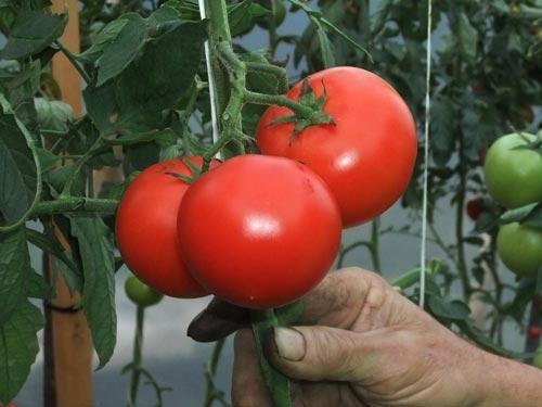 Популярные схемы удобрения помидор