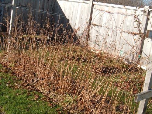 Посадка малины весной и уход за кустами