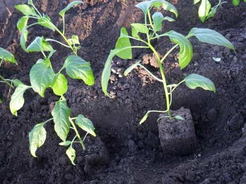 Посадка перца в теплицу для повышения урожайности