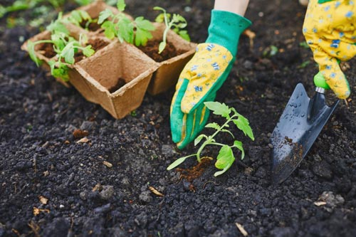 Посадка рассады для выращивания овощей