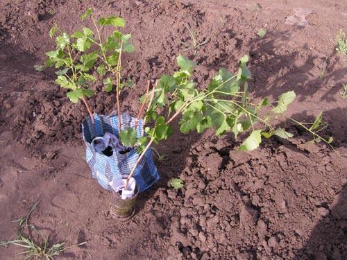 Пошаговая инструкция посадки смородины осенью