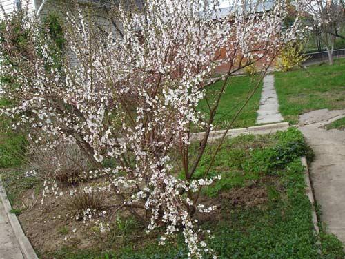 Посадка вишни войлочной в своем саду