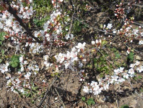 Посадка вишни войлочной