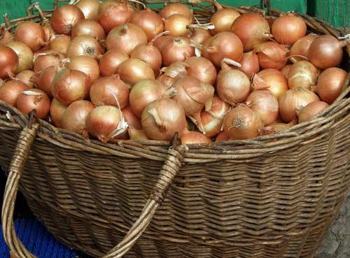 Практичное выращивание лука сорта Шекспир