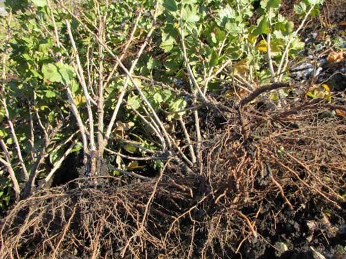Правила посадки смородины и крыжовника осенью на дачном участке