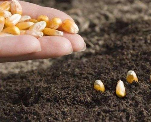 Правильно организованная посадка кукурузы