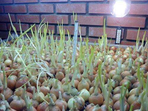 Правильное и выгодное выращивание лука