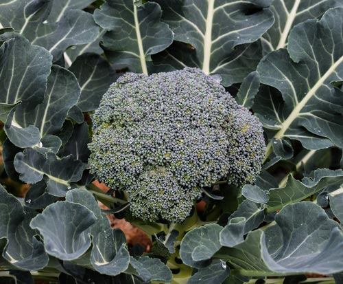 Правильное выращивание брокколи