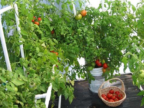 Правильные условия для помидоров в теплице