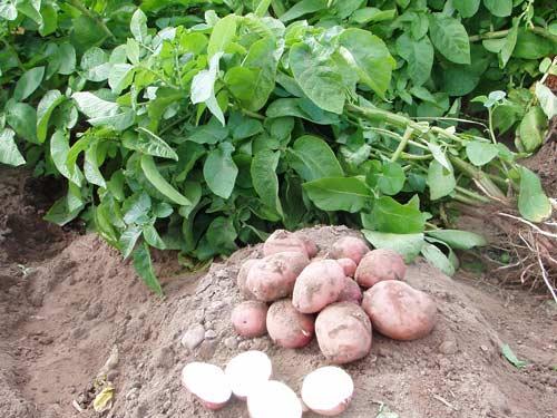 Преимущества посадки картофеля в июле