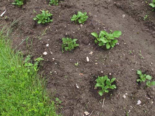 Преимущества посадки картофеля летом